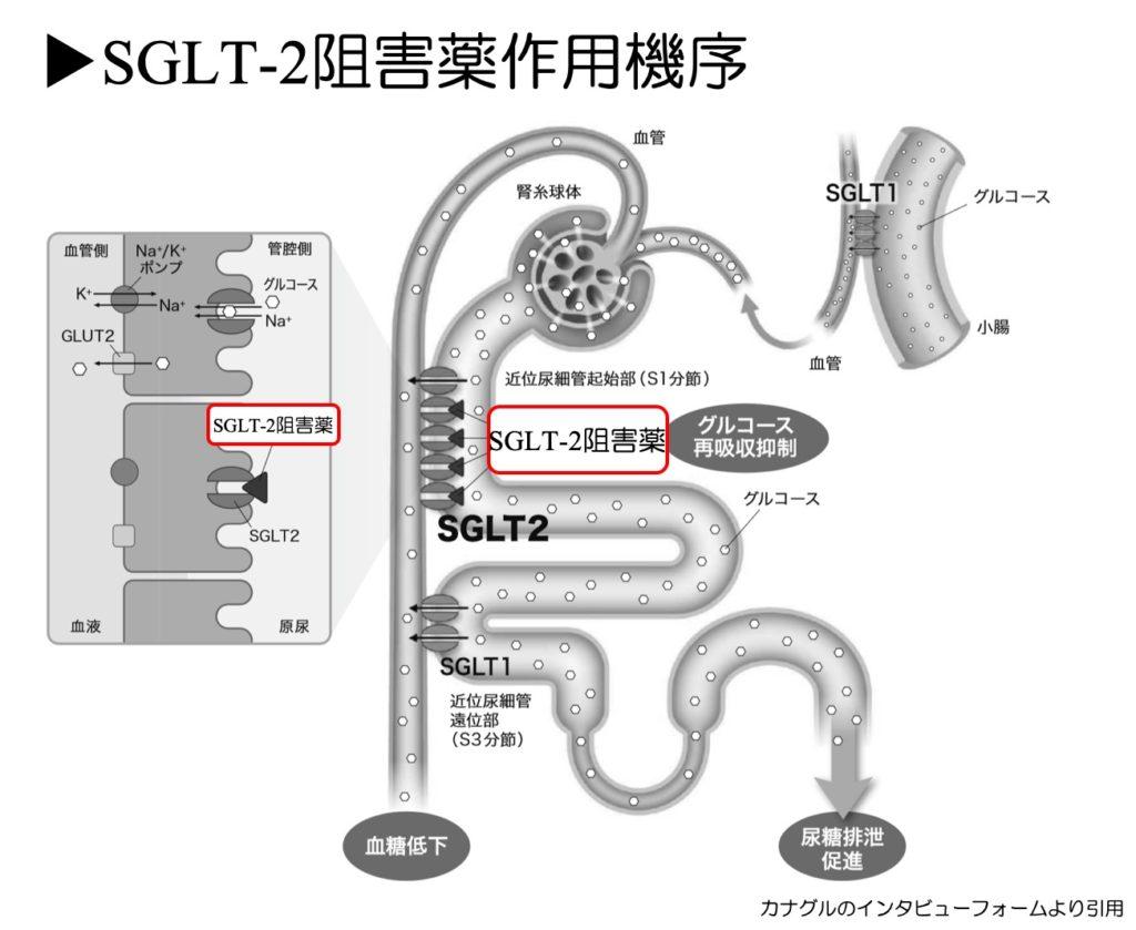 SGLT阻害薬作用機序